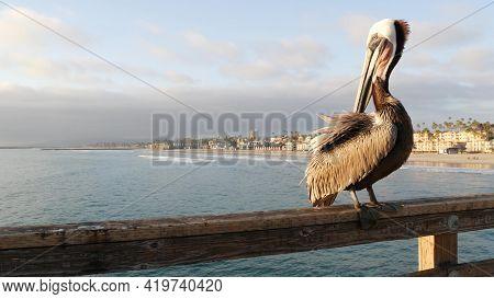 Wild Brown Pelican On Wooden Pier Railing, Oceanside Boardwalk, California Ocean Beach, Usa Wildlife