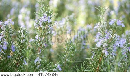 Rosemary Salvia Herb In Garden, California Usa. Springtime Meadow Romantic Atmosphere, Morning Wind,