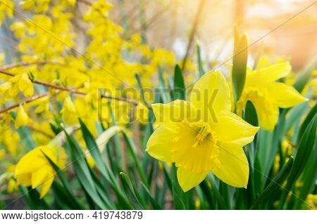 Yellow Daffodils. Natural Background Of Daffodils Growing In The Garden Against The Background Of A