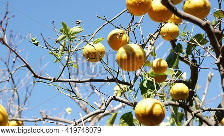 Citrus Orange Fruit, Bare Leafless Tree, California Usa. Spring Garden, American Local Agricultural
