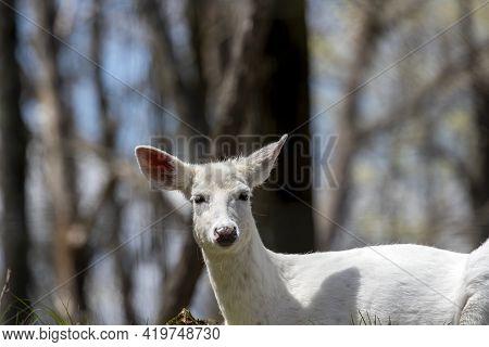 Rare White Color, White - Tailed Deer, (odocoileus Virginianus)