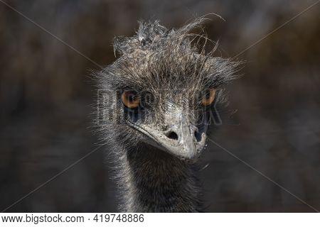 The Emu  (dromaius Novaehollandiae). Detail Head. Endemic Species In Australia Relative The Ostrich.