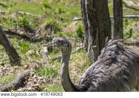 The Greater Or American Rhea (rhea Americana), Bird Native To South America.