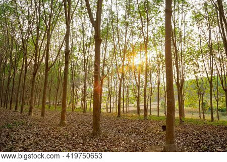 Para Rubber Tree, Latex Rubber Plantation Tree Rubber In Northeast Of Thailand