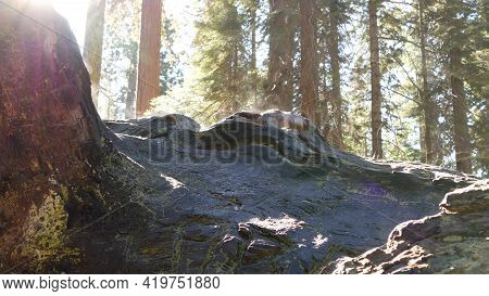 Fog Rising In Sequoia Forest, Fallen Redwood Trunks In Old-growth Wood. Misty Morning In Coniferous