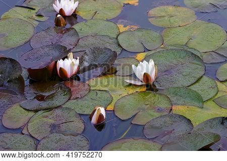 Several Water Lilies Of The Species