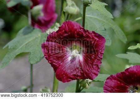 Wine Red, Dark Red Flower Of The Hollyhock - Alcea Rosea - In The Summer