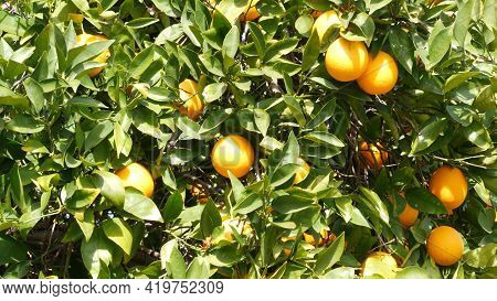 Citrus Orange Fruit On Tree, California Usa. Spring Garden, American Local Agricultural Farm Plantat