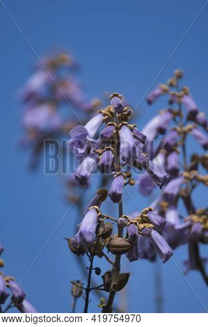 A Picture Of The Paulownia Flowers.     Vancouver Bc Canada