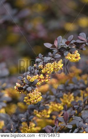 A Closeup Of Some Berberis Thunbergii Blooming In The Park.   Vancouver Bc Canada