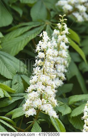 A Closeup Of Some Horse Chestnut Flower Blooming In The Park.   Vancouver Bc Canada
