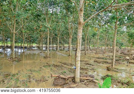 View Of Flooded Latex Rubber Plantation Tree Rubber In Flood Plains Of River Pegalan In Keningau,sab