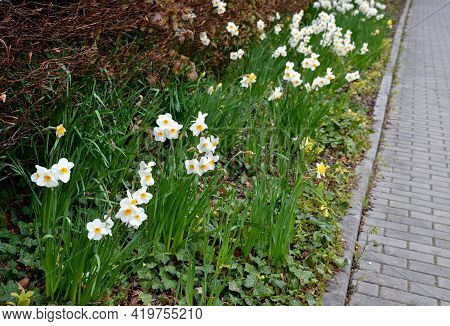 On The Square Is A Flower Bed With Bulbs That Bloom In Dense Distance. Gardener Takes Care Of Everyt