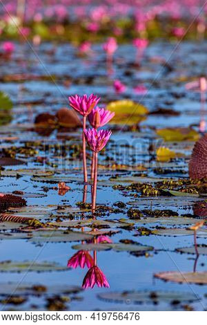 Beautiful Scenery Of Pink Lotus At Thale Noi Wetland In Phatthalung, Thailand.
