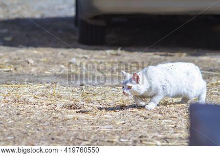 White Cat Hunts Near Car In Village Yard