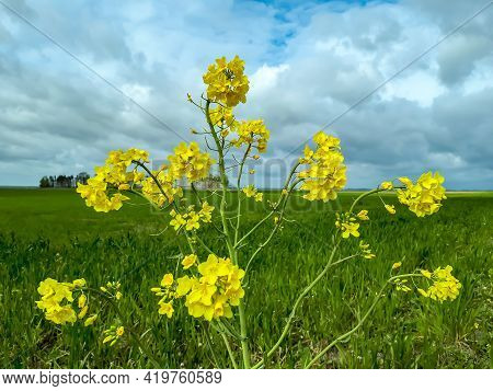 Landscape Scenery Of Bright Yellow Flowering Rapeseed (brassica Napus) Plant And Fields In Countrysi