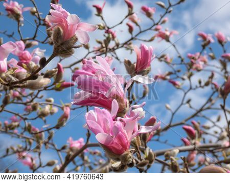 Delicate Floral Background Of Pink Star-shaped Flowers Of Blooming Star Magnolia - Magnolia Stellata