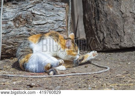 A Cat Licks Its Paw While Washing In The Bright, Warm Sun In The Courtyard Of A Private Village Hous