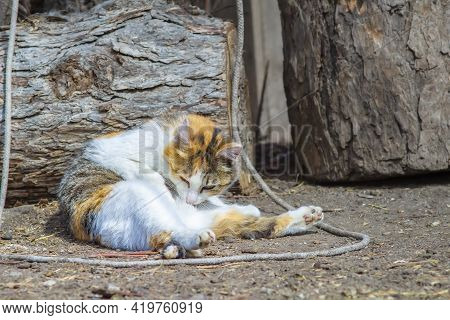 Tricolor Fluffy Siberian Cat Washes, Licks His Stomach With His Tongue With His Eyes Closed With Ple