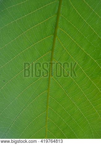 Macro Shot Of Fresh Green Leaf, Closeup Shot Of Walnut Leaf - Stock Photo