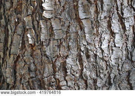 Closeup Shot Of Texture Of Pinus Wallichiana Tree, Pine Tree Bark - Stock Photo