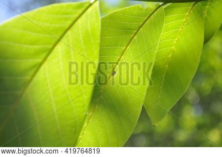 Low Angle Macro Shot Of Green Walnut Leaves With Sunlight On It