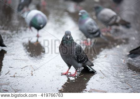 Pigeons In The Background And A Brazen Pigeon Stands Wet In The Rain