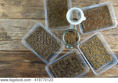 Grow Microgreen. A Set Of Seeds Of Different Plants In Plastic Boxes. Sprout On A Linen Mat In A Pla