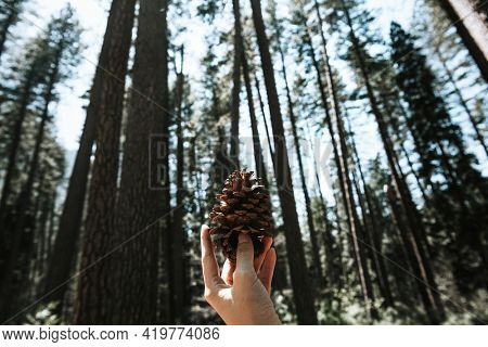 Man holding a pinecone in Yosemite National Park, USA