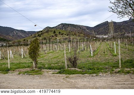Vineyard Valley, Vines Are Tied In Even Rows. A Fertile Valley Among The Hills. Rows Of Vineyards In