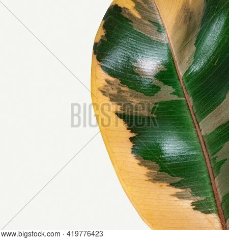 Closeup of an Indian rubber plant leaf