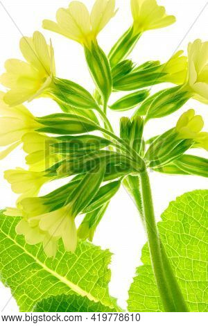 Early Spring Flower Of Primula Veris Cowslip In Close-up A White Background. High Resolution Image I
