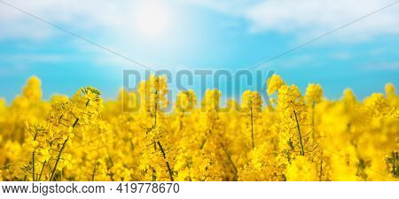 Yellow Rapeseed Field Against Blue Sky Nature Background. Blooming Canola Flowers.