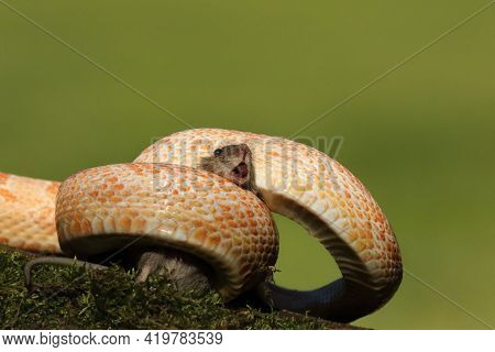 A Corn Snake (pantherophis Guttatus Or Elaphe Guttata) After Hunt Eating A Mouse. A Red, Orange And
