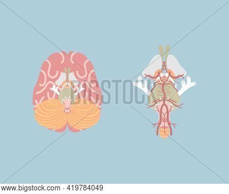 Human Brain, Internal Organs Anatomy Body Part Nervous System, Vector Illustration Cartoon Flat Char