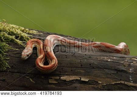 A Corn Snake (pantherophis Guttatus Or Elaphe Guttata) Hunting A Mouse. A Red, Orange And Yellow Cor