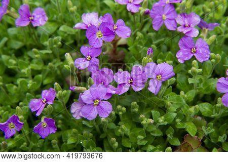 Purple Rock Cress (aubrieta Deltoidea) Blooming In A Garden