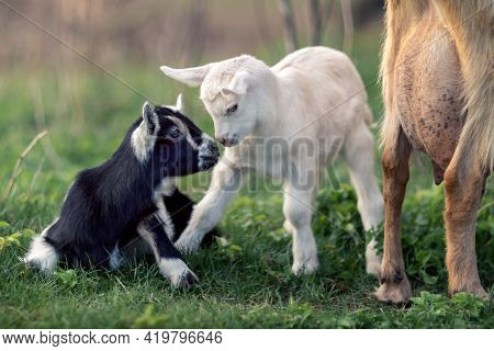 Two Black And White Little Young Goatlings Companionship