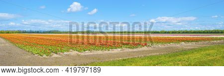 Colorful Tulips In An Agricultural Field In Sunlight Below A Blue White Cloudy Sky In Spring, Almere
