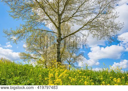 Yellow Wild Flowers Blooming In Green Grass Along Trees In Sunlight Below A Blue White Cloudy Sky In