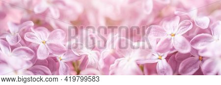 Pink Lilac Flowers Template Banner. May Lilac Blossom With Water Drops Macro. Dreamy Romantic Backdr