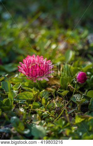 Marguerite Flowers In Green Grass In Garden