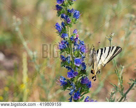 Scarce Swallowtail (iphiclides Podalirius) Butterfly Feeding On Blooming Viper's Bugloss Plant (echi