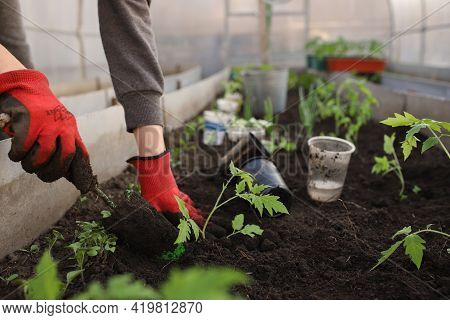 The Hands Of A Girl In Red Gloves Are Digging A Hole With A Spatula For Planting A Tomato Seedling I