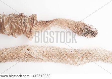 Snake Shedding Skin On White Background,molting Snake
