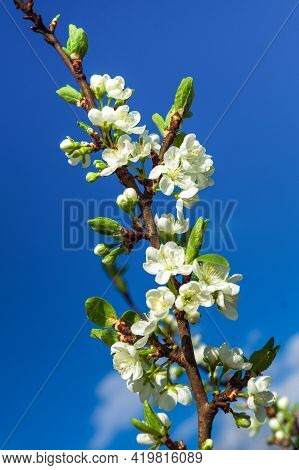 Blossoming Orchard In The Spring. Blooming Plum Orchard Tree On A Blue Sky Background. Spring Backgr