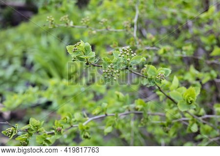 Young Green Leaves On A Bush Branches Close Up