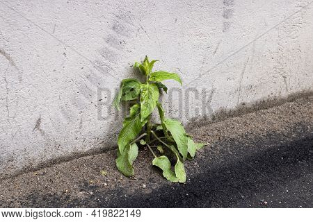 Green Plant On The Asphalt By The Wall Close Up