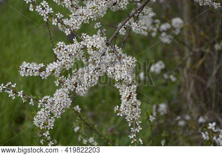 Tiny White Flowers On Blackthorn Or Sloe