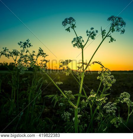 Beautiful Queen Anne\'s Lave Flowers Blossoming On The Side Of Rural Road. Summer Scenery With Wildf